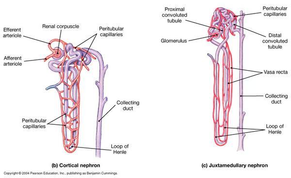 Endocrine Hormones Functions