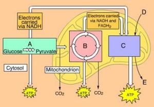 Chapter 9 Cellular Respiration and Fermentation  Part A