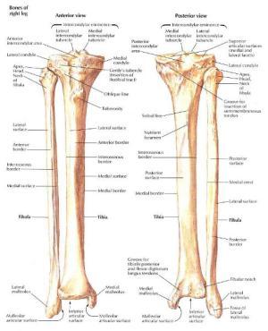 Print Week #6 Lower Appendicular skeleton cont flashcards