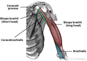 Deep Muscles of the Back & Muscles of the Shoulder and Arm