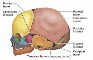 Print Exercise 12: The Fetal Skeleton flashcards | Easy Notecards