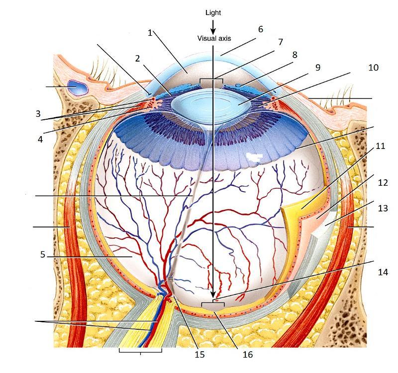 Print Eyeball Anatomy flashcards | Easy Notecards