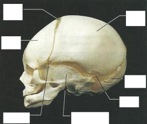 Fetal Skull Diagram Blank | Wiring Diagram