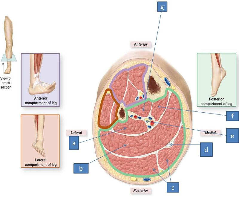 Cross Section Anterior Tibialis Tendon Ankle