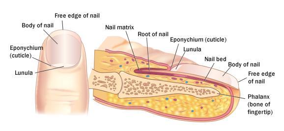 Bed Blank Diagram Nail
