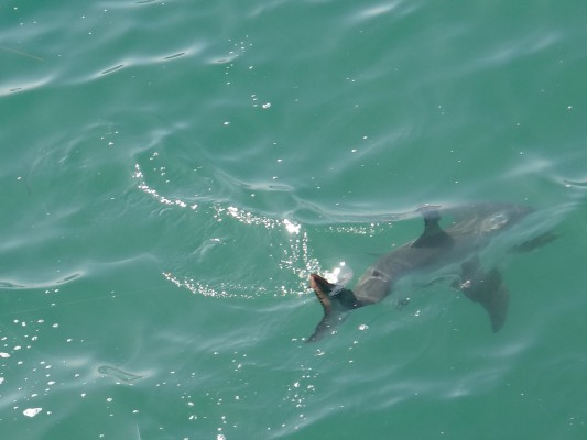 Two more great white sharks reeled in at Manhattan Beach Pier, Great White off Manhattan Beach