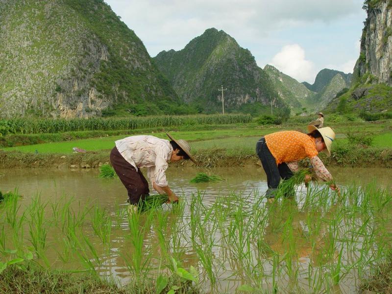 China rice fields
