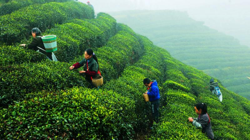 Top China tea vacations