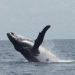 Whale watching Panama tours