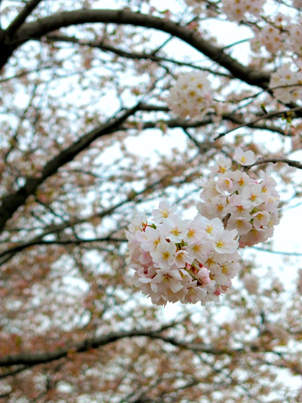 Beautiful Cherry Blossoms Close up