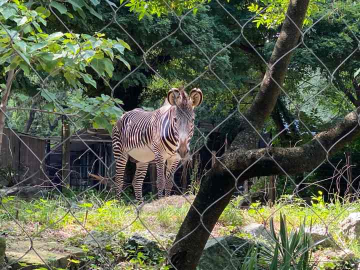 Shy zebra at the zoo