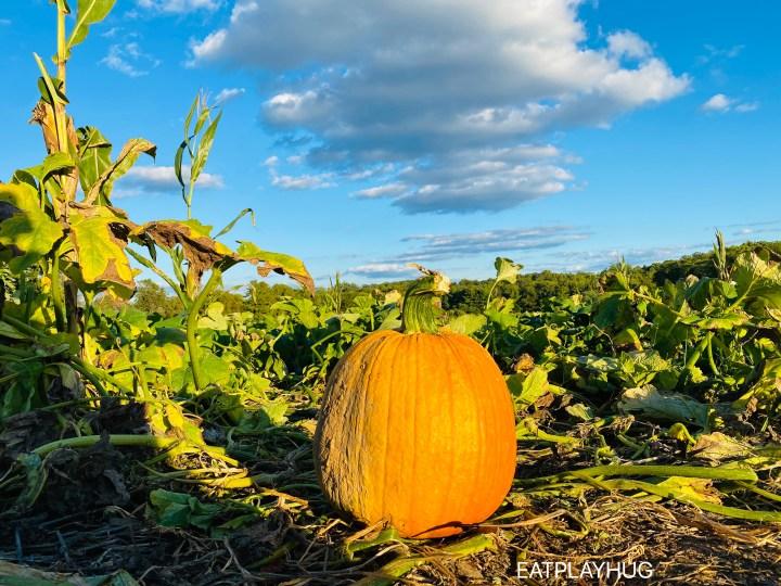 pumpkin at Butler's farm