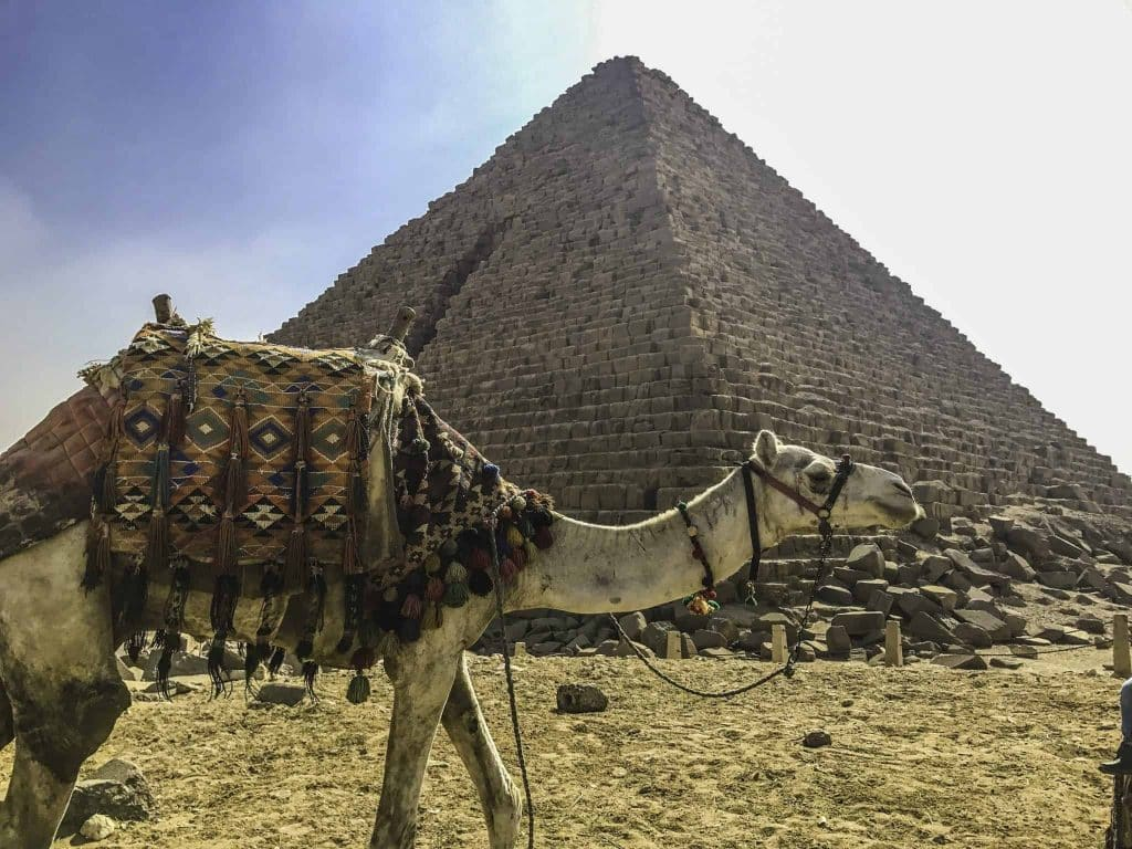 Camel in Egypt