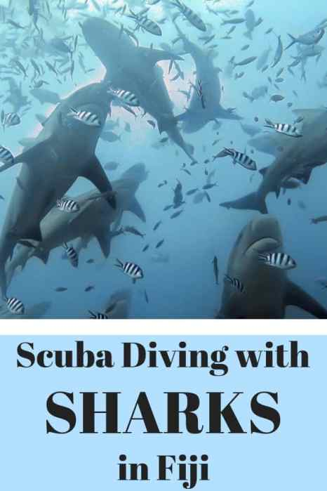Ever wanted to go scuba diving with sharks? Here's what you need to know about the Fiji shark dive. #ScubaDiving #Sharks #Fiji
