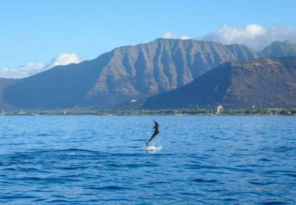 Wild dolphins jumping in Hawaii