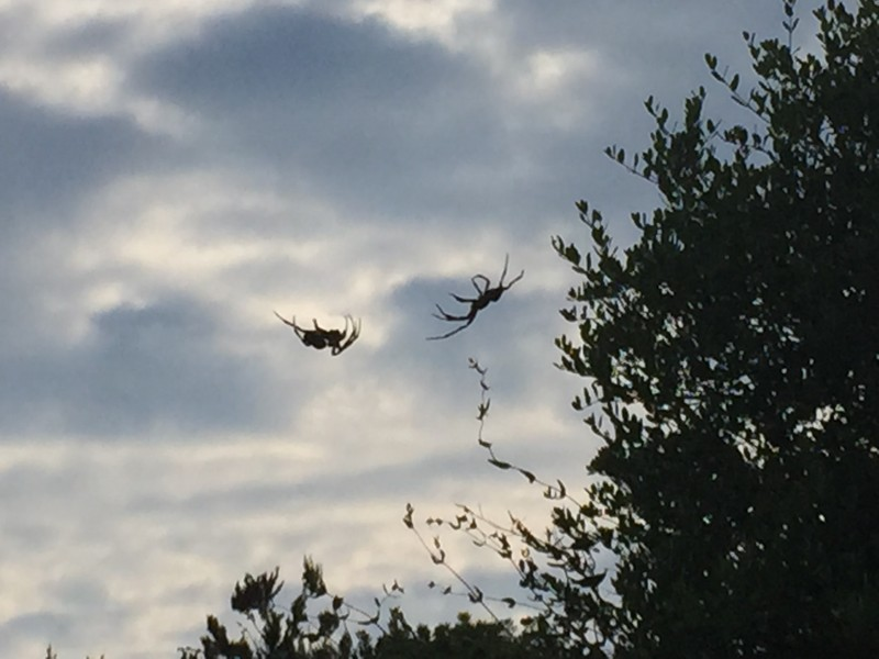 Spiders in the olive groves at Bioporos, Corfu