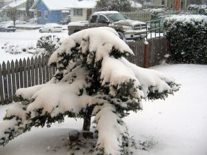 My poor juniper in one of the first days of the great Seattle blizzard of '08