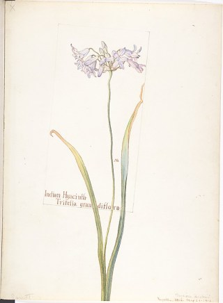 Indian Hyacinth by Neilson Armstrong