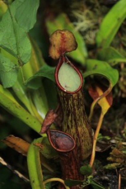 Nepenthes Pitcher Plant at Mt. Melibingoy