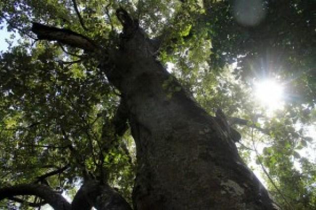 Century Old Miyapi Tree