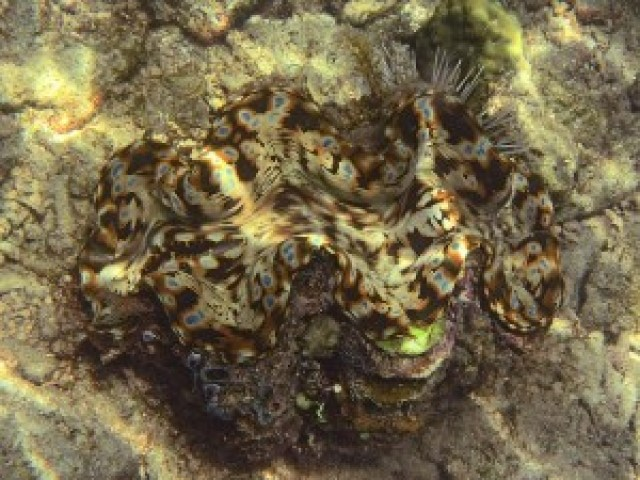 Fluted Giant Clam (Tridacna squamosa)
