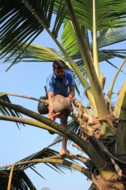 Coconut Palm Liquor