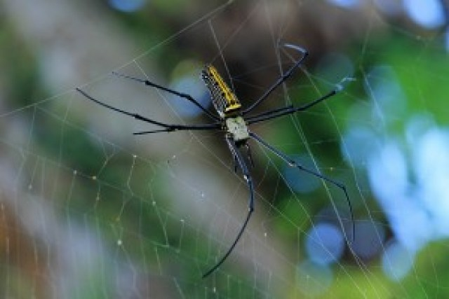 Giant Orb Weaver Spider