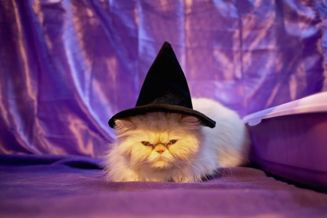 White cat in a witch hat with purple backdrop