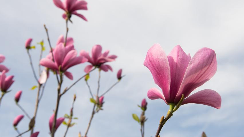 Magnolia Galaxy TreeEbb Online Tree Finding Tool