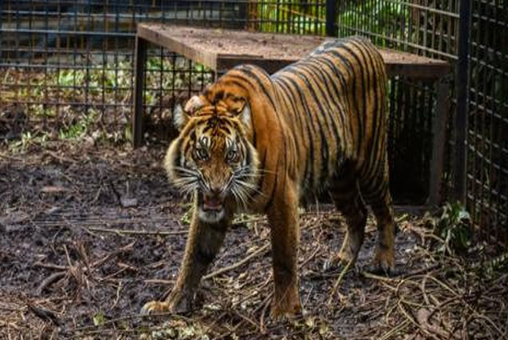 Zookeeper-monkey-and-ostrich-claw-to-death-after-two-tigers-escape-zoo-facility