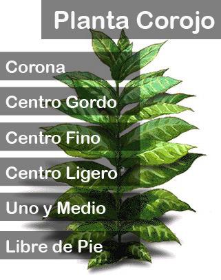 Planta Corojo
