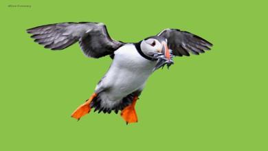 eBlue_economy_طائر Puffin مهرج المحيط الحزين ... بغبغان البحر !