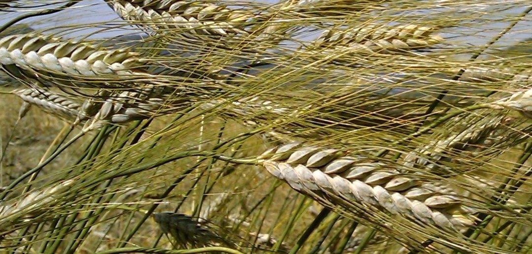 Saragolla: il grano dei faraoni in Abruzzo