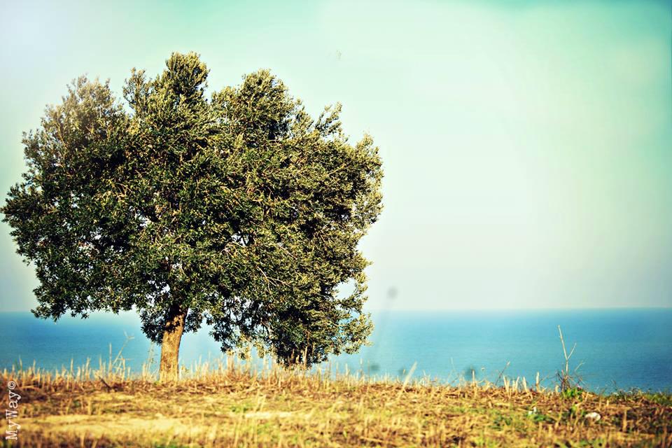 L'ulivo e l' olio: nettare di dio, nettare degli dei, nettare degli uomini