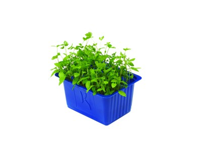 Persinette Cress – crescione al prezzemolo