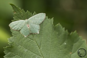 Groene nachtvlinder
