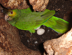 Image result for parrots laying eggs