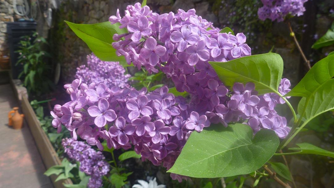 Jasmin Schwartz lilas