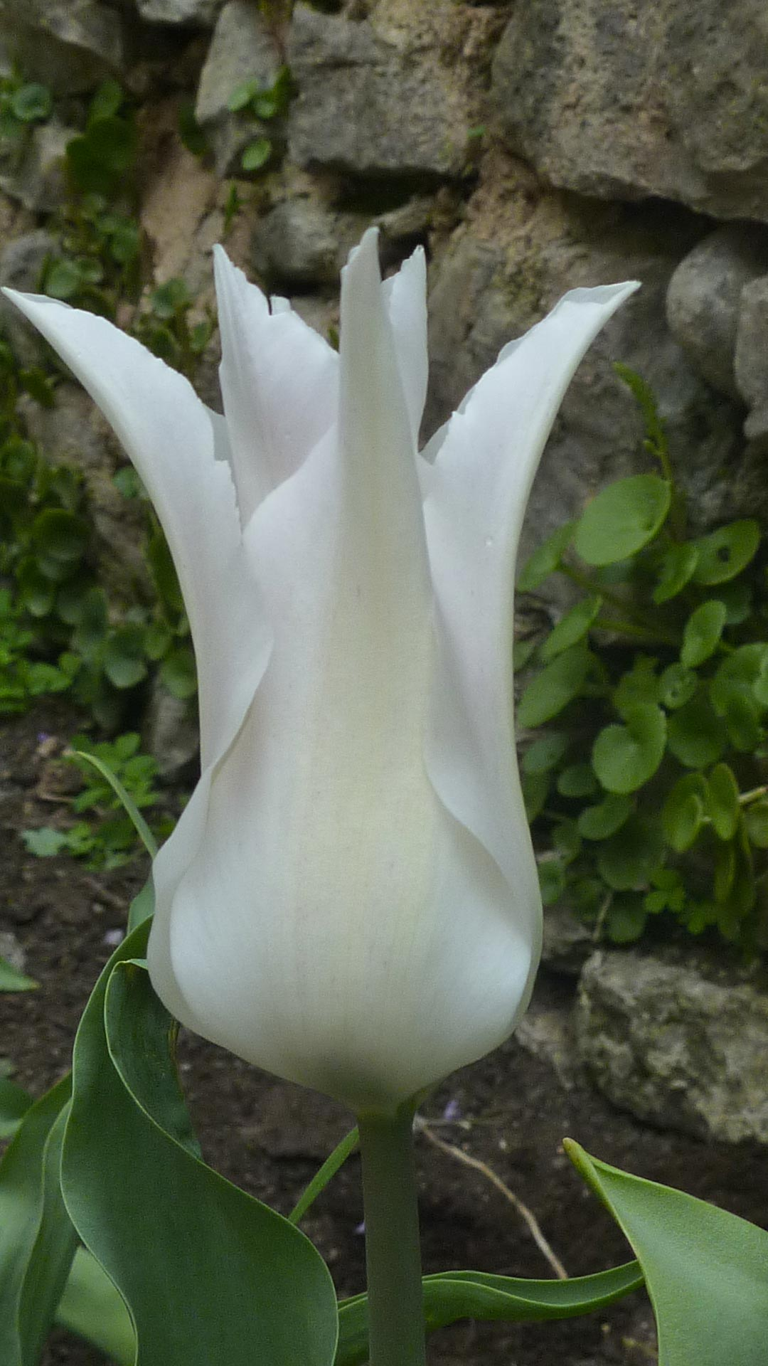 Jasmin Schwartz tulipe