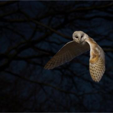 Barn Owl, Barn Owl in flight, Barn owl hunting, animal photography, animal portrait, wildlife photography, animal portrait, animal portraiture, bird photography, protected species, The Hawk Conservancy
