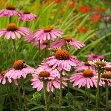 Echinacea, product photography, still life photography, Echinacea flower, Flower photography, Pink Echinacea, Honey bee, Bee on Echinacea