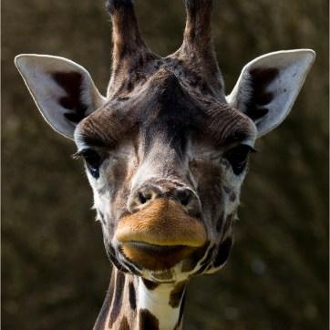 Giraffe, Giraffe at Longleat Safari Park, Longleat Safari Park, animal photography, animal portrait, endangered species, conservation, animal conservation, wildlife photography, animal portrait, animal portraiture