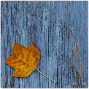 Panel of three, autumn leaf, blue peeling painted wood, autumn leaf on blue wood, leaf theme, leaf themed picture, product photography, still life photography, Creative photography