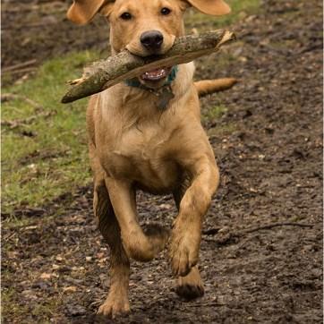 Labrador, pet photography, dog photography, dog portrait, pet portrait, dog in the woods