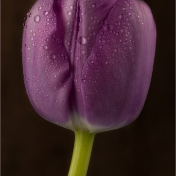 Negrita Deep Purple Tulip, Purple Tulip, Purple Flower, Purple flowers, product photography, still life photography, Purple petals, Flower photography, Water droplets on flower, Water droplets