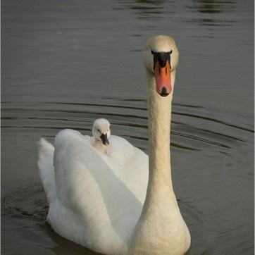 Cygnet, Mute swan and cygnet, animal photography, animal portrait, wildlife photography, animal portrait, animal portraiture