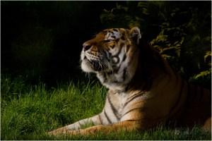 Tiger, Amur Tiger, Marwell Zoo, Marwell Wildlife, Wildlife photography, captive wildlife, animal photography, endangered species