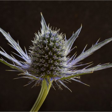 Spikey Blue Eryngium, Eryngium, Blue Flower, Blue spikes, product photography, still life photography, Spikey flower, Flower photography, Spikey Blue Eryngium with slate back ground