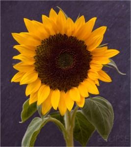 Sunflower, Sunflower on slate back ground, Flower, Yellow flower, product photography, still life photography, yellow petals, Sun flower head, Flower photography