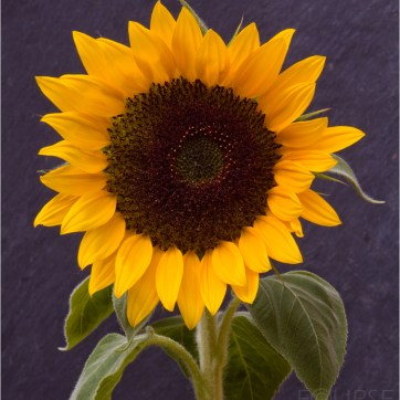 Sunflower, Sunflower on slate back ground, Flower, Yellow flower, product photography, still life photography, yellow petals, Sun flower head, Flower photography